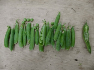 Peas from the garden